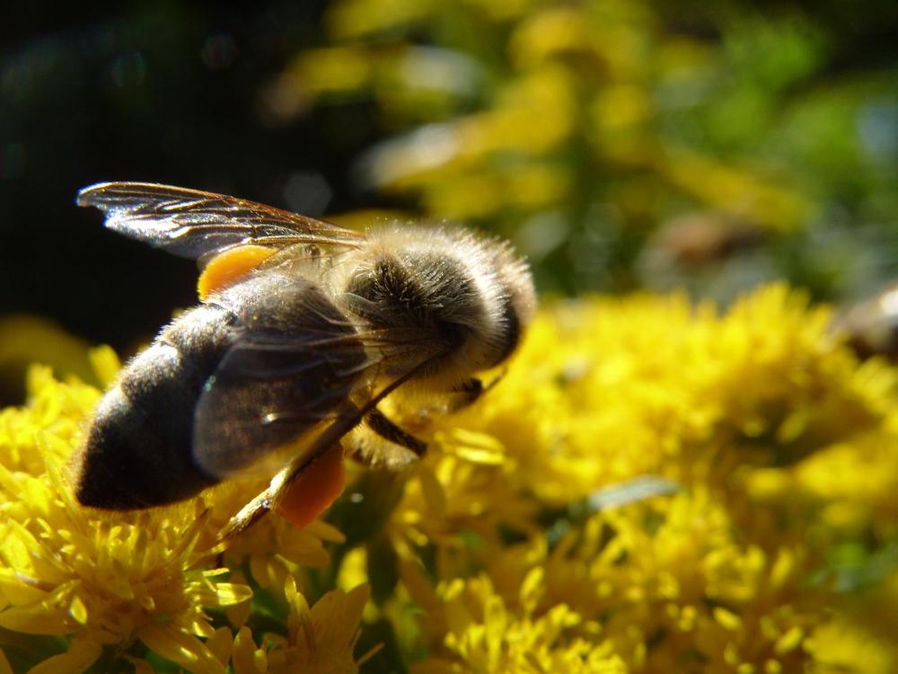 Biene auf Goldrute 2