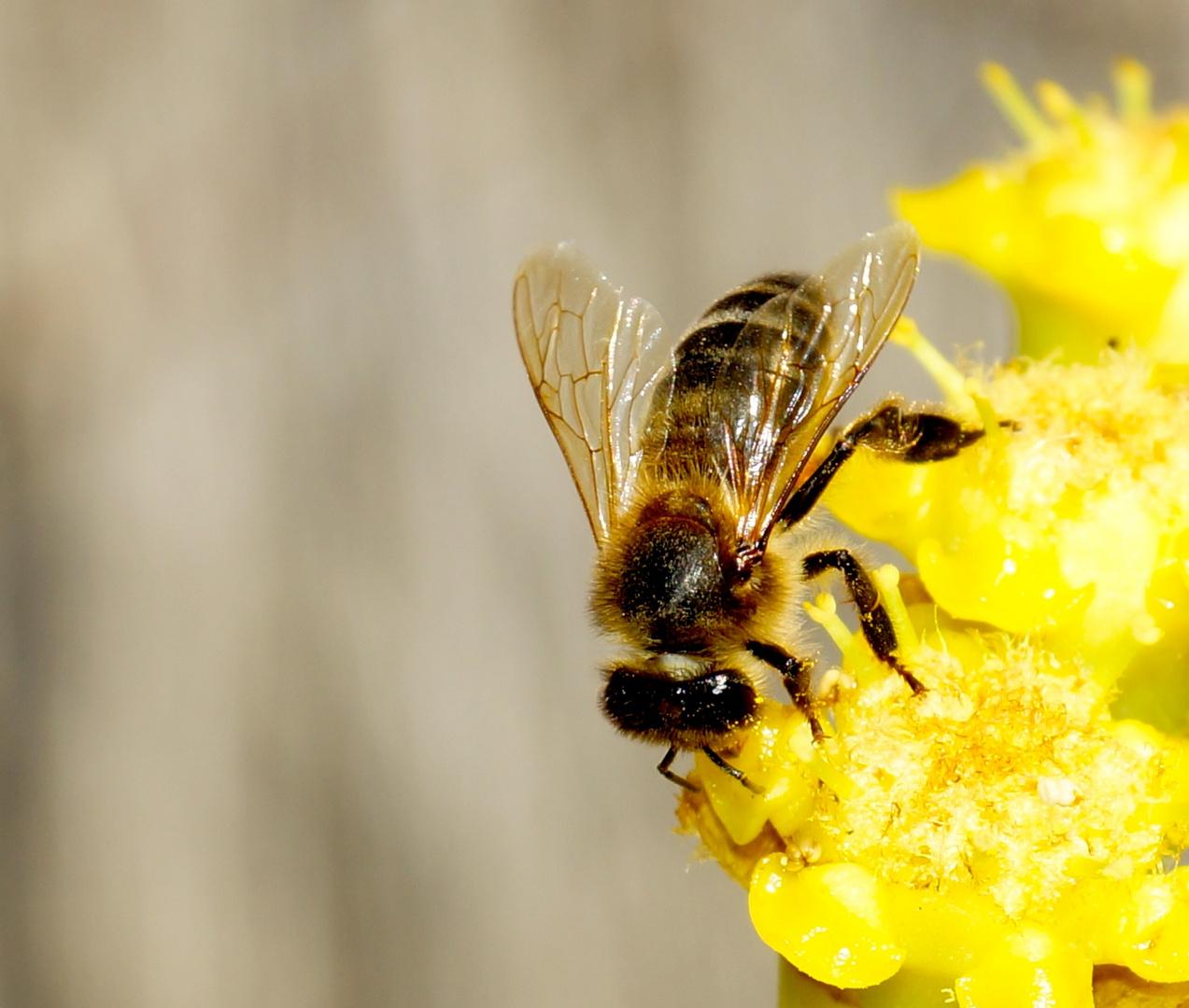 Biene auf Kaktus