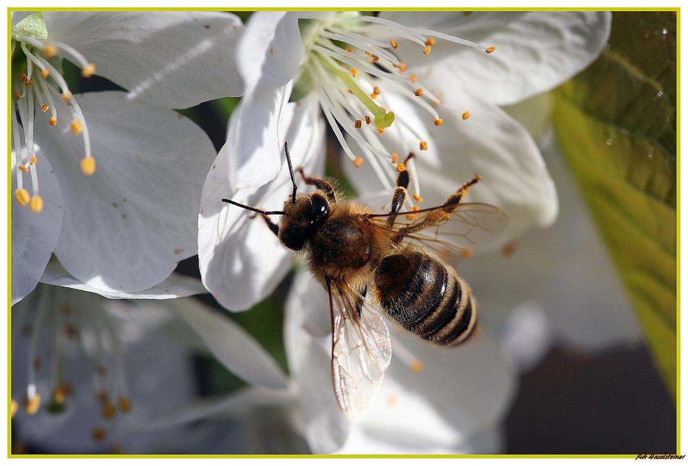 > Biene auf Kirschblüte