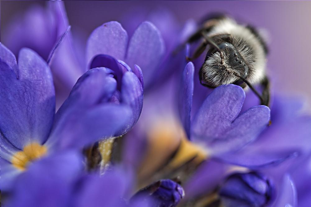 Biene auf Kugelprimel
