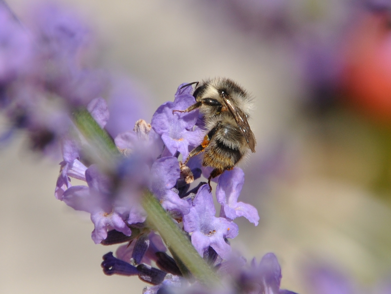Biene auf Lavendelstrauch