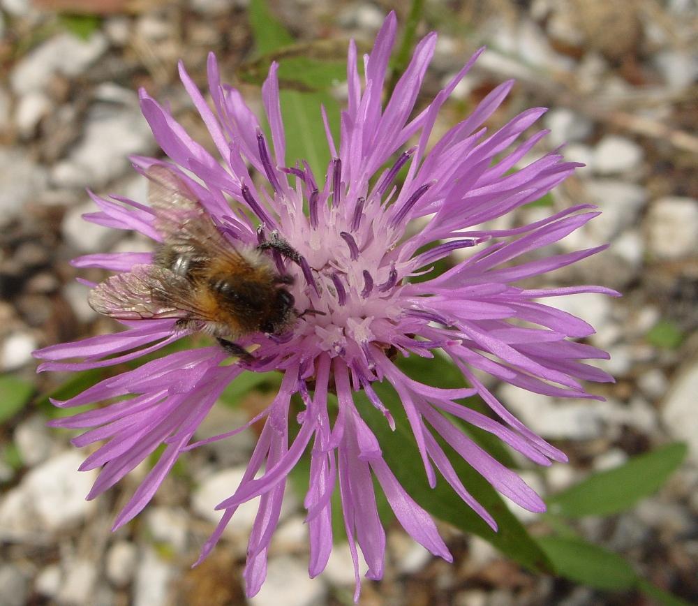 Biene auf lila Distel