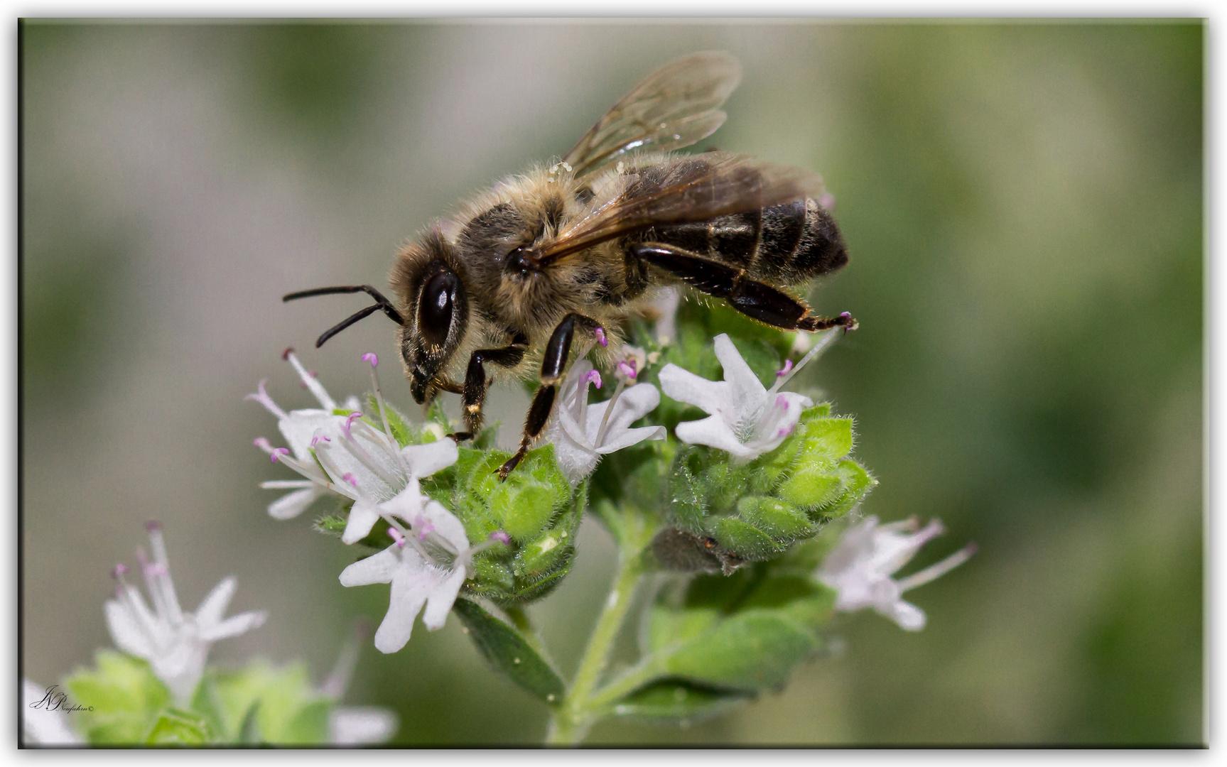 --- Biene auf Oregano ---