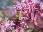 Biene auf rosa Blüte