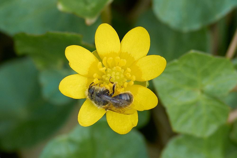 Biene auf Scharbockskraut (Ranunculus ficaria)