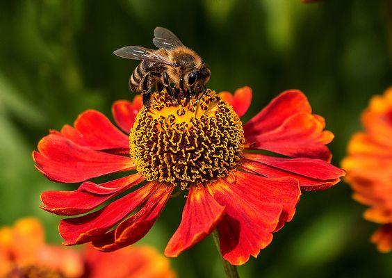 Biene auf (Sonnen)brautschau
