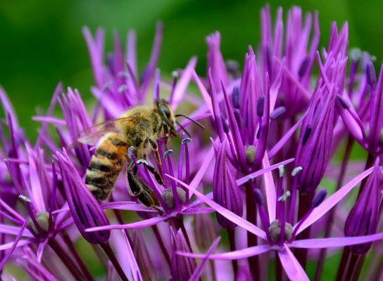 #...Biene auf Suche.......#