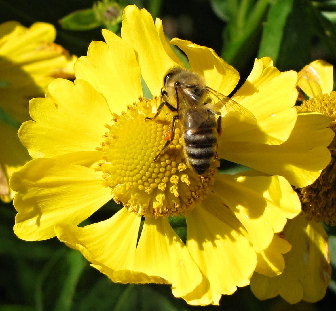 Biene auf Suche