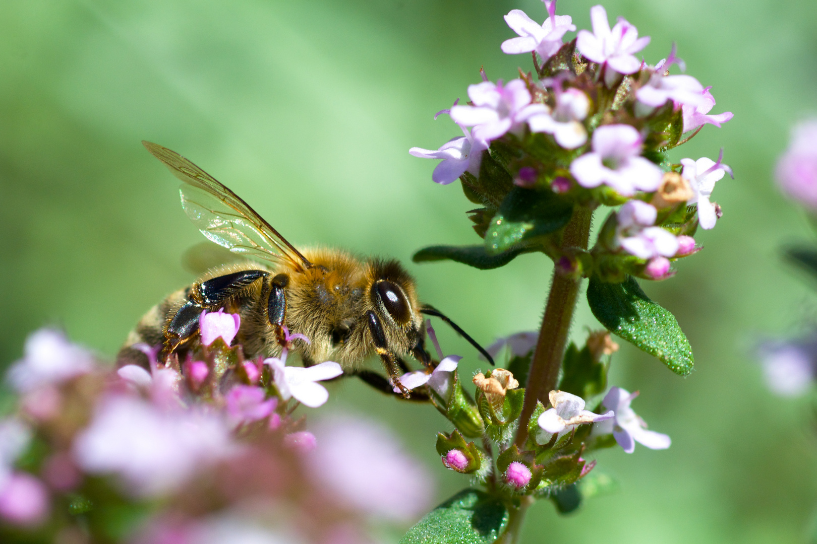 Biene auf Thymianblüte