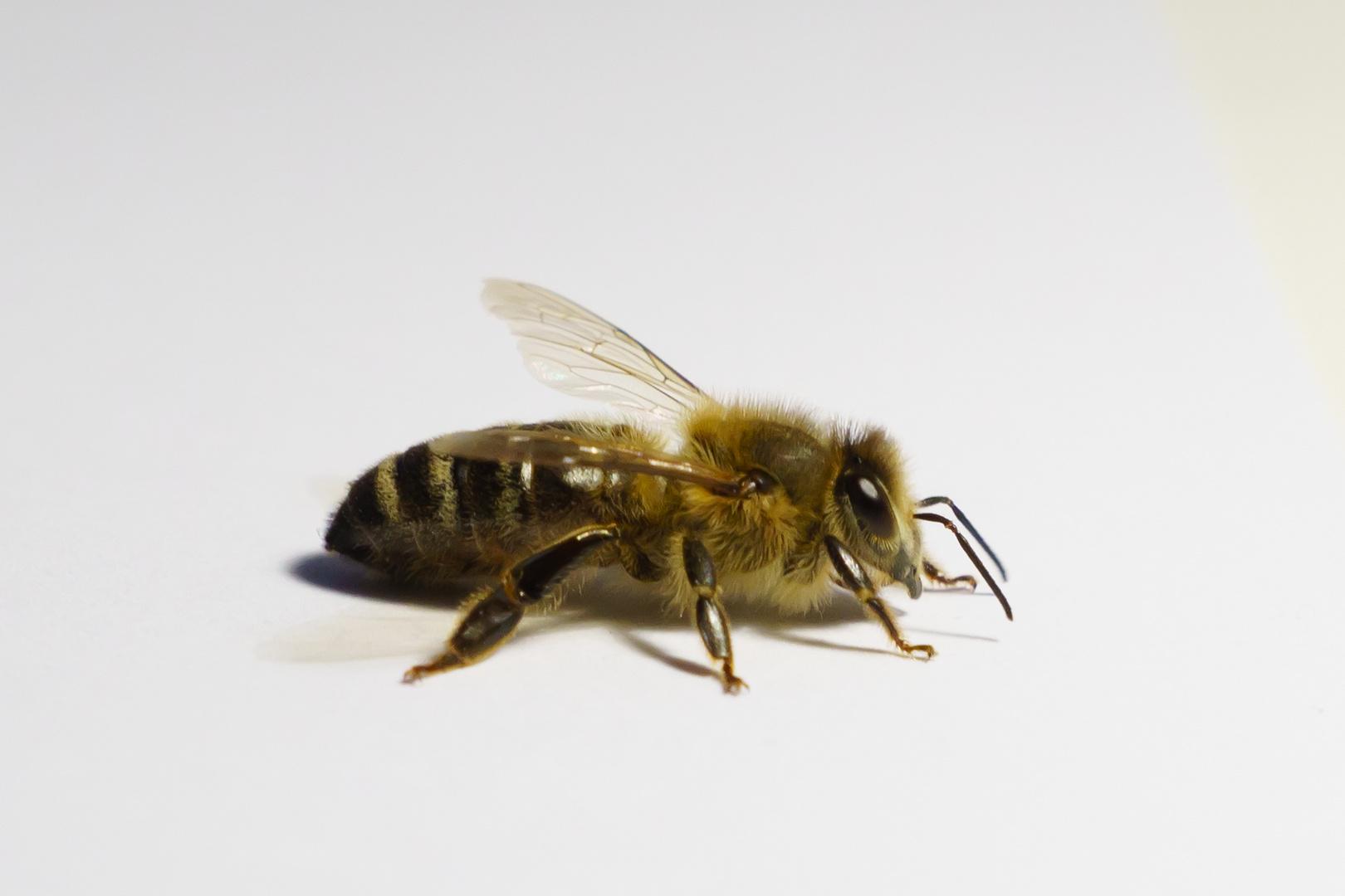 Biene auf Weiß
