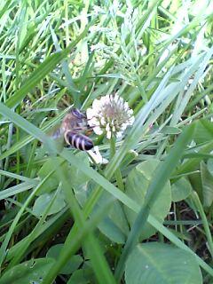 Biene auf weissklee