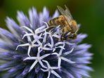 Biene auf Zierdistel