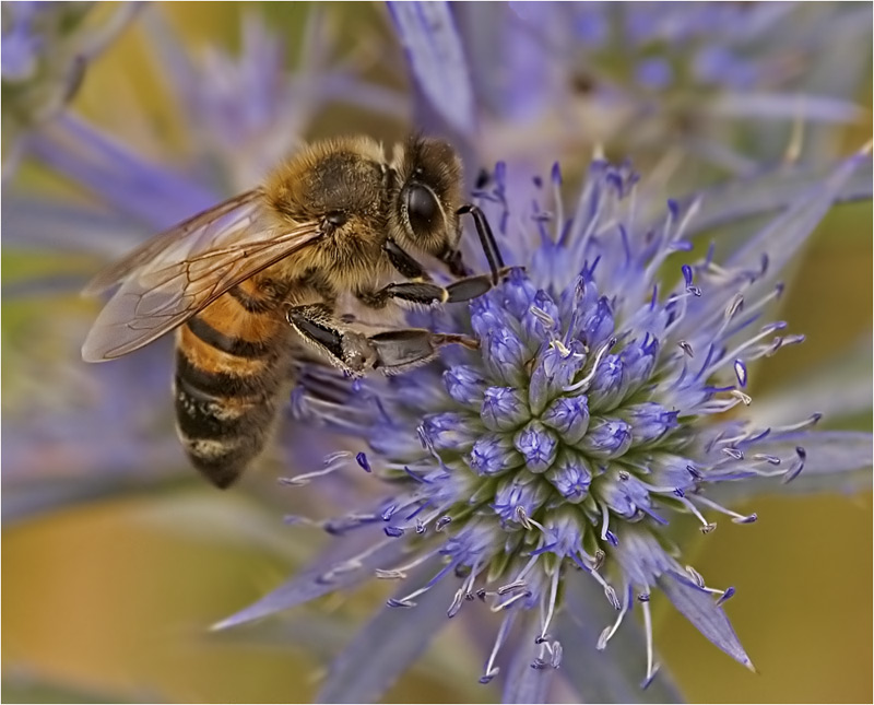 Biene aus Italien