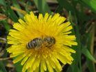Biene bearbeitet Löwenzahn