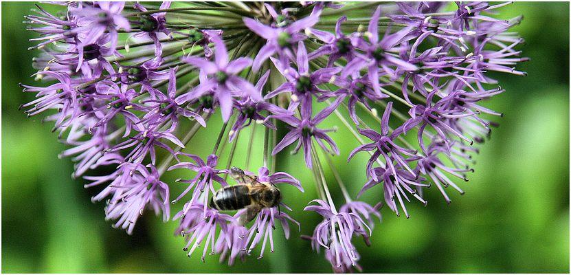 Biene bei der Mahlzeit