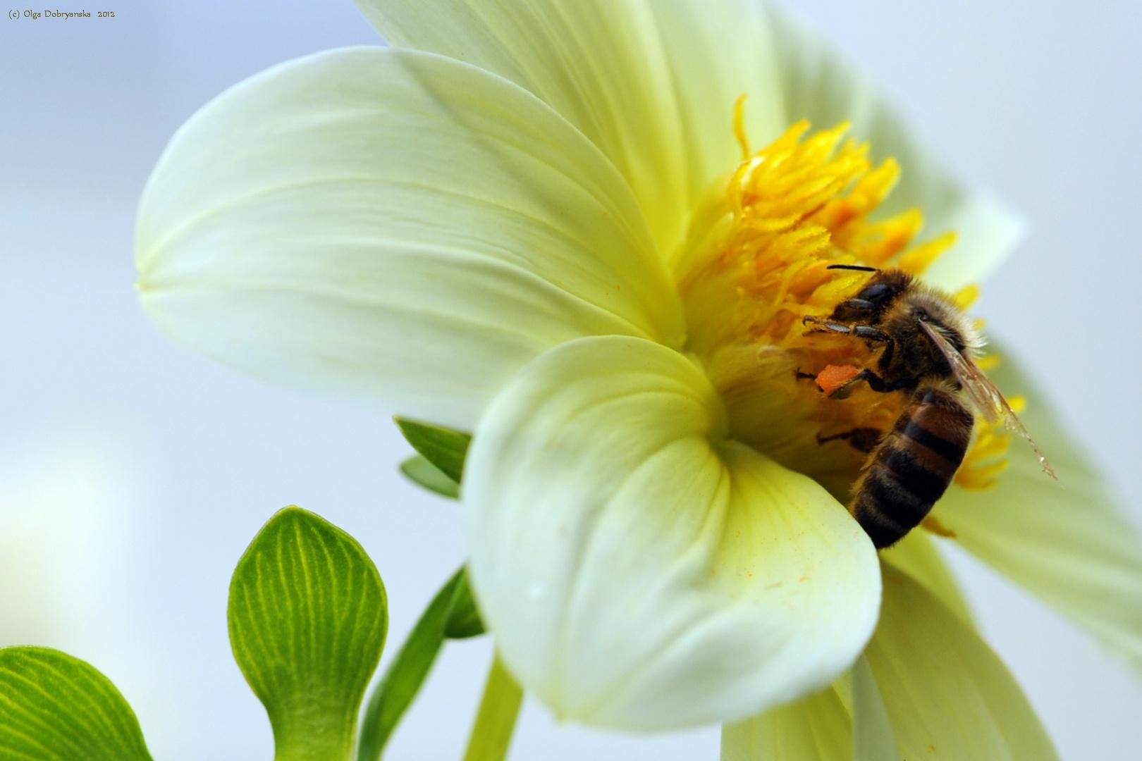 Biene bei der Nektarsuche