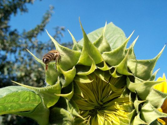 Biene bei Landung