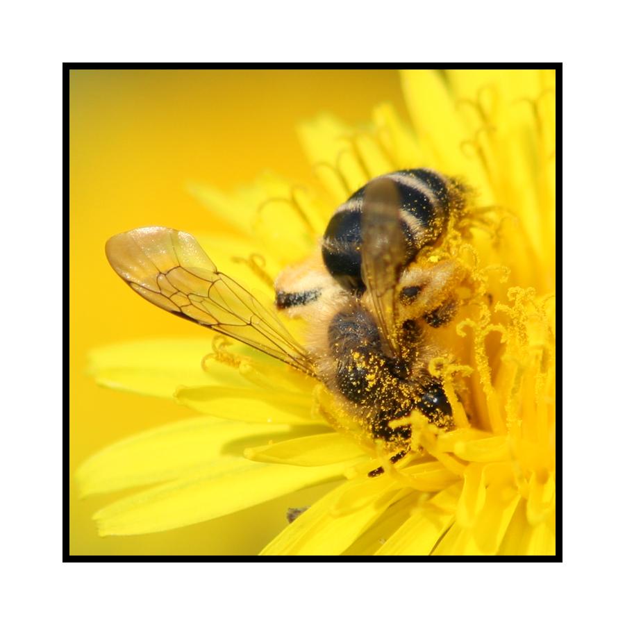 Biene beim....