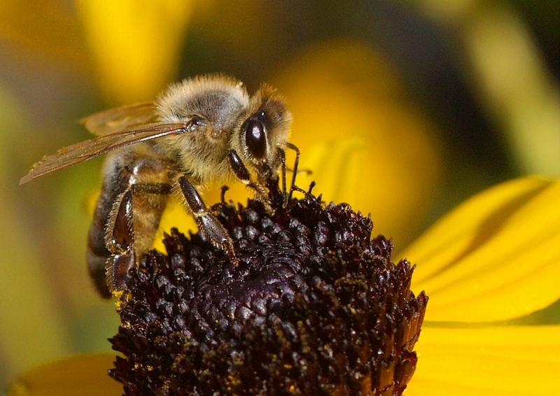 Biene beim Abendbrot