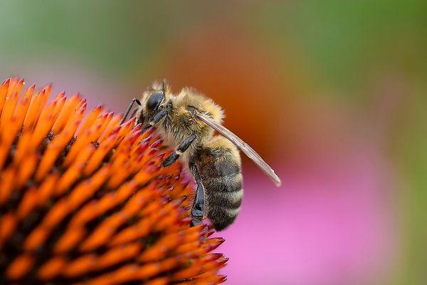 Biene beim Frühstück