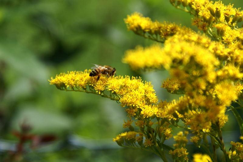 Biene beim Goldschürfen