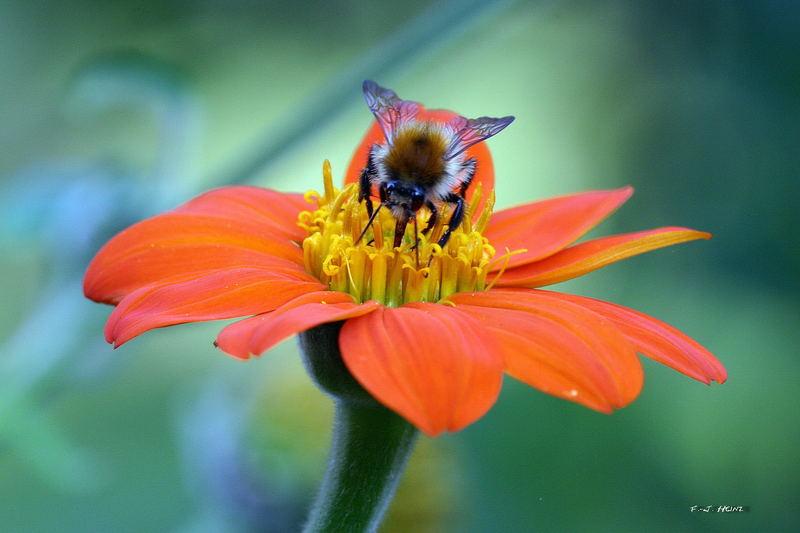 Biene beim kleinen Cocktail