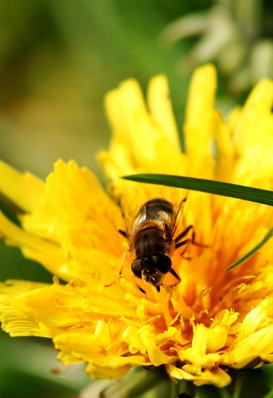 Biene beim Morgentrunk
