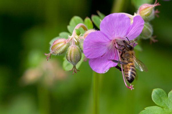 Biene beim Naschen...