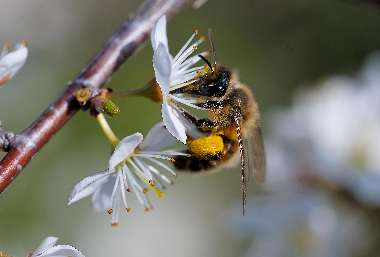 Biene besucht Schlehe