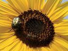 Biene, Blüte und Käfer