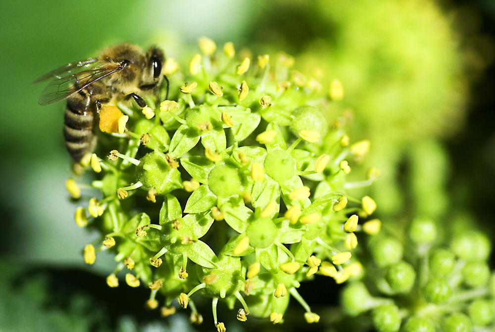 Biene das Arbeitstier