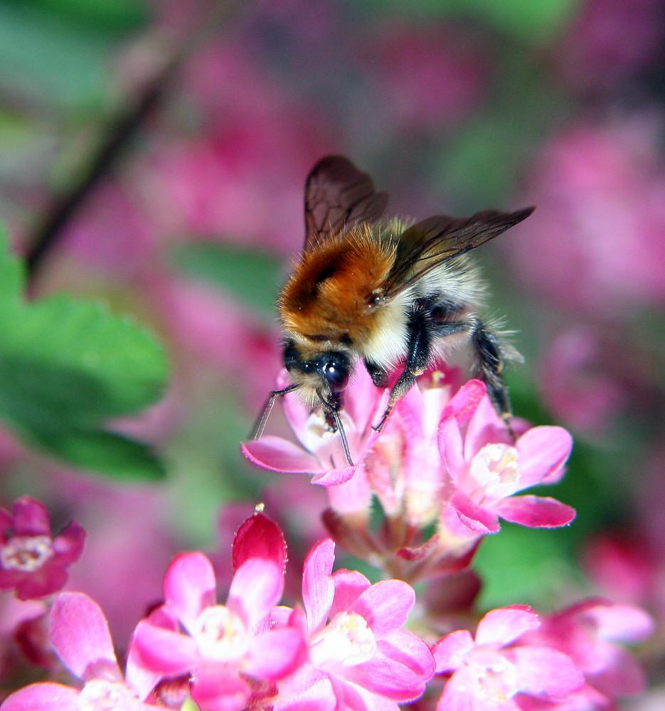 Biene von wirger franz