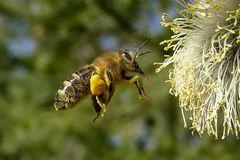 Biene - Frühling