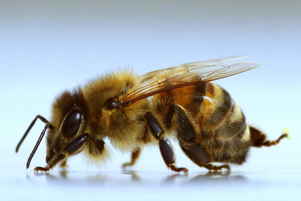 biene ganz nah 1 foto bild tiere wildlife insekten bilder auf fotocommunity. Black Bedroom Furniture Sets. Home Design Ideas