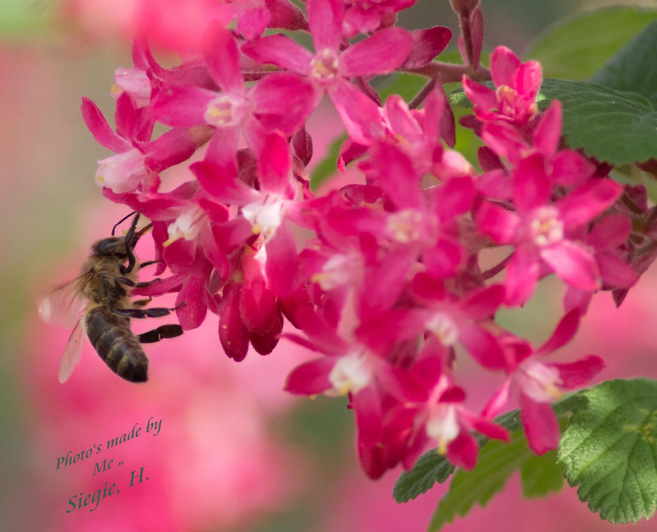 Biene ganz nahe