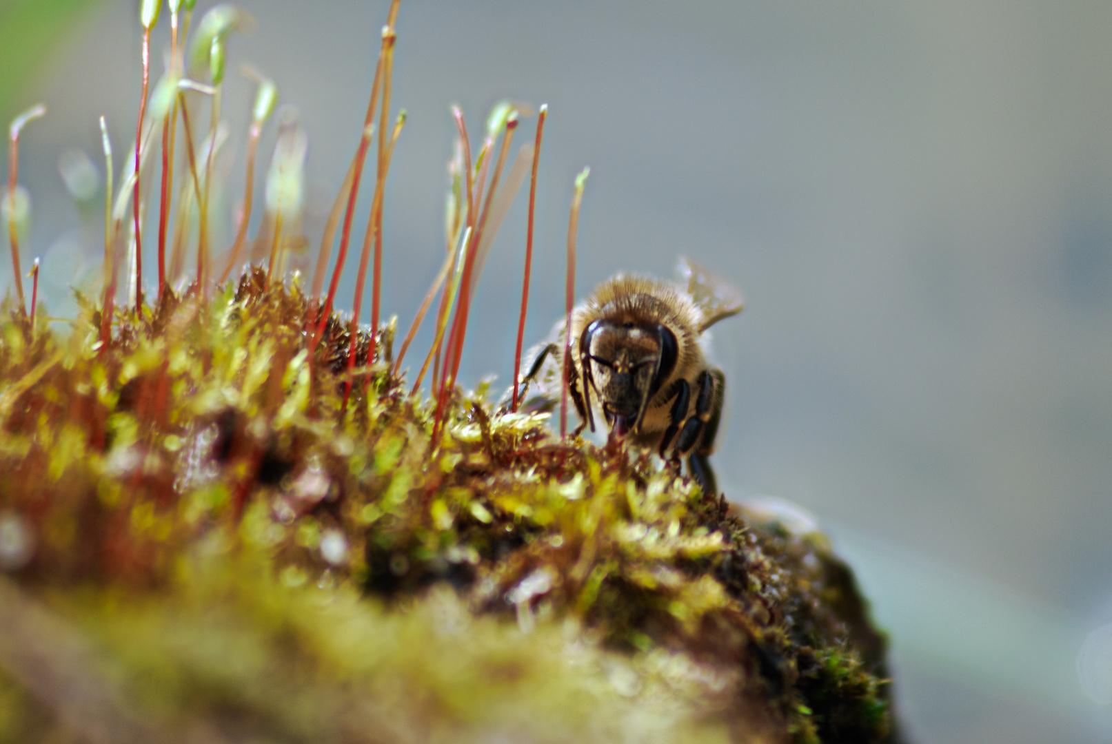 Biene hinterm Moos