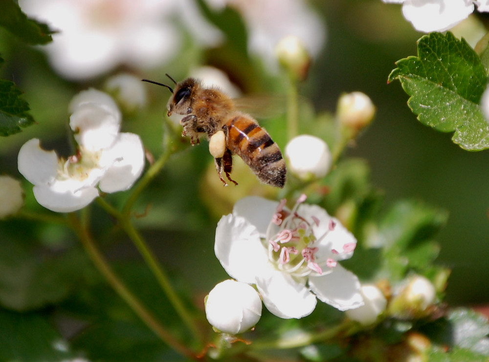 Biene hüpf