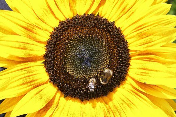 Biene, Hummel & Blüte