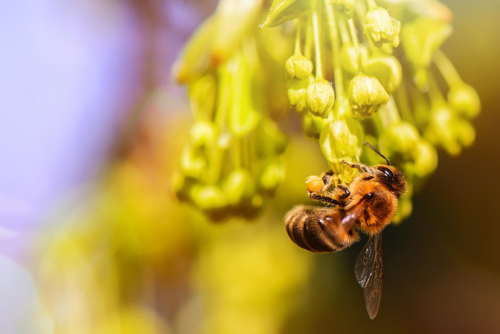 Biene im Ahorn