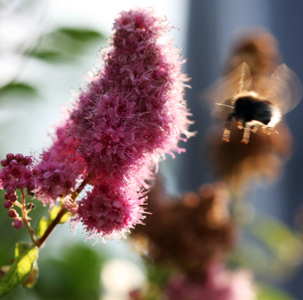 """Biene im Anflug"""