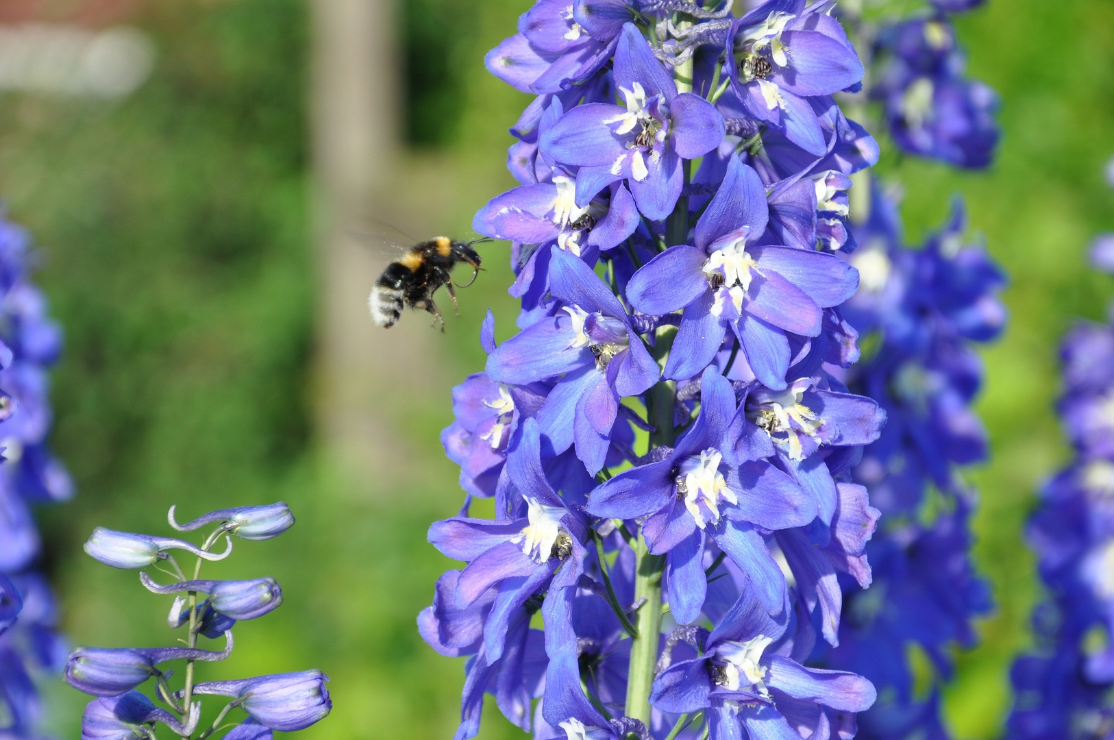 Biene im Anflug auf Blume