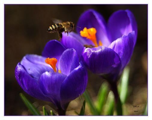 Biene im Anflug auf Krokus