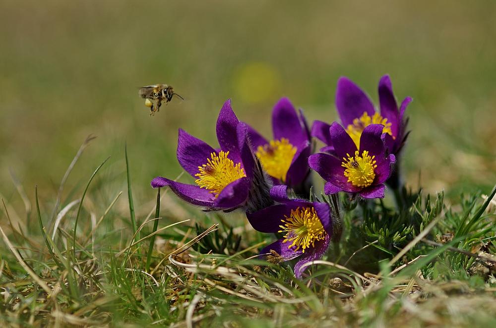 Biene im Anflug auf Küchenschellen 27.3.14