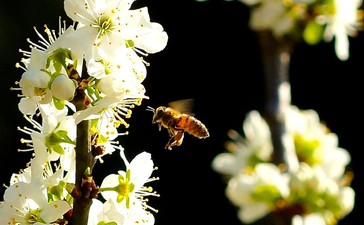 Biene im Anflug die 2