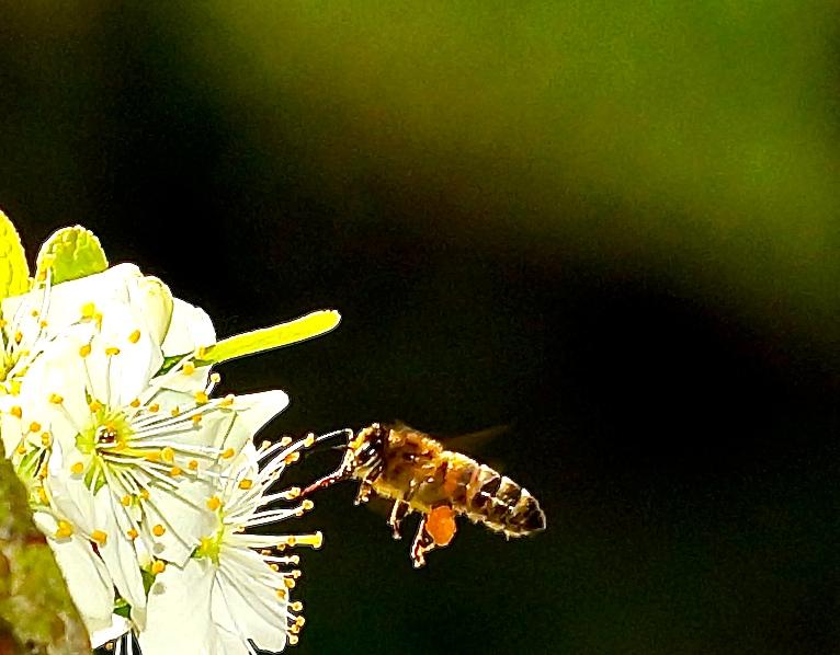 Biene im Anflug die 3