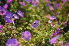 Biene im Blütenmeer