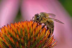 Biene im Farbenland