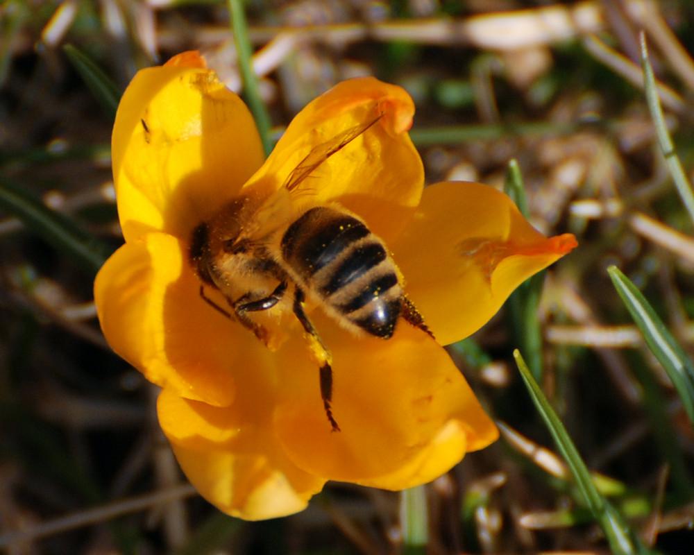 Biene im Februar