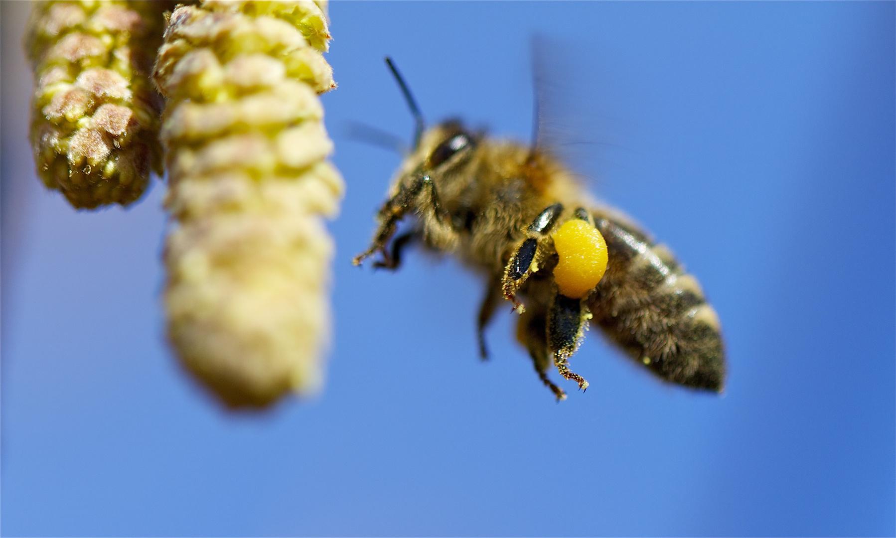 Biene im Flug, Frentschenberg Bristen
