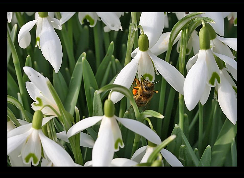 Biene im Garten 2